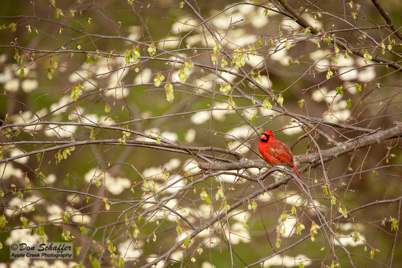 Photo of a Cardinal in Spring